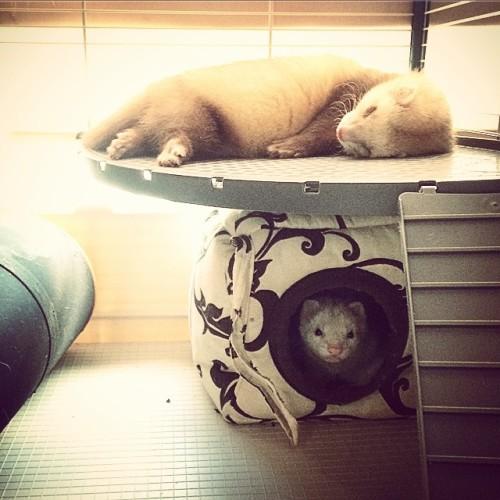 fretka śpi i czuwa